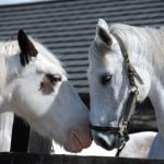 Bob the cob and Lea by Dingle Horse Riding